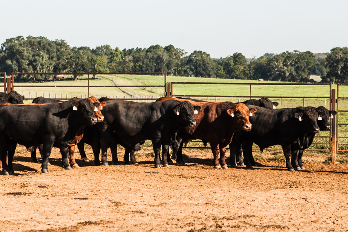 Florida bovine paradise southern cattle company commercial cattle malvernweather Images